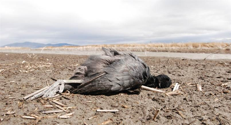 Dead coot