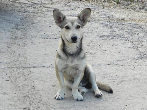 Moldovian dog