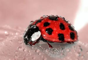 insects - ladybug
