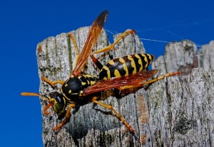 insects - wasp